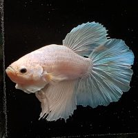 Betta splendens Opaque