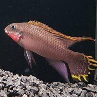 Pelvicachromis taeniatus Nigera Red